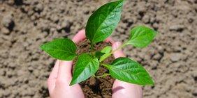 Hände mit Mutterboden und Keimling