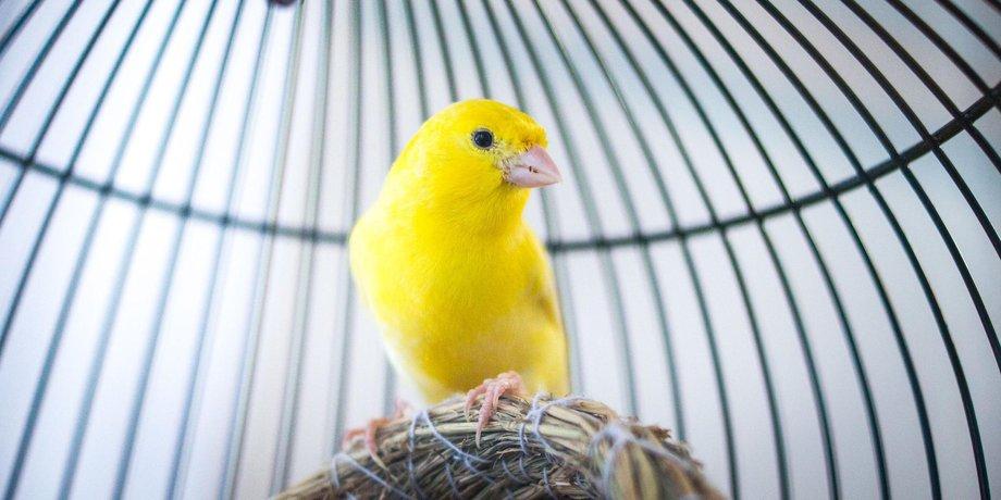 Gelber Kanarienvogel in einem Käfig.