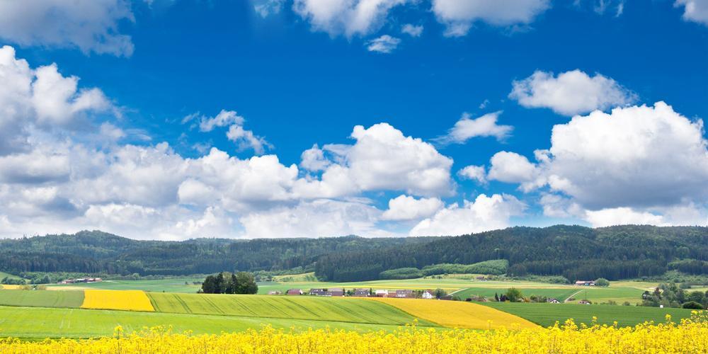 Schöne Landschaft mit gelben Rampsfeldern im Sonnenschein