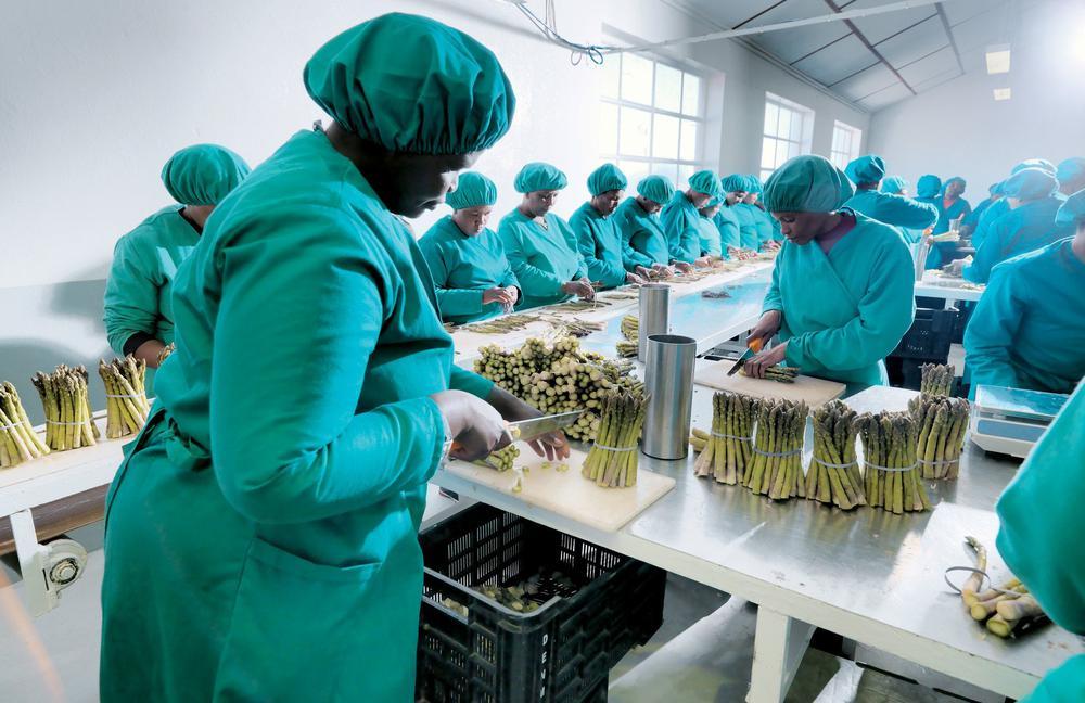 Arbeiterinnen in grünen Kitteln mit weißen Häubchen schneiden grünen Spargel und verpacken ihn in Kisten.