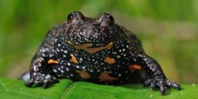 Unke, früher auch Feuerkröte genannt, auf einem grünen Blatt